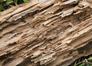 Termite-damaged wood showing rotting galleries outside of a Woodburn home
